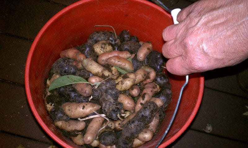 potato harvest from my garden